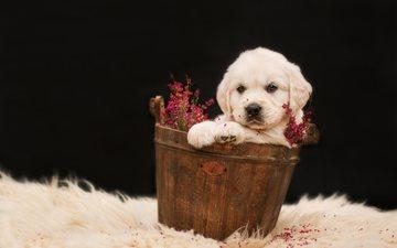 цветы, щенок, собаки, золотистый ретривер