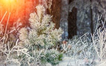 снег, природа, растения, лес, зима, мороз, иней, ёлочка