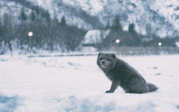 снег, зима, песец, полярная лисица, арктическая лиса