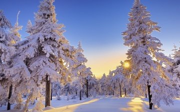 the sky, the sun, snow, winter, morning, pine, ate, sunny day, trees