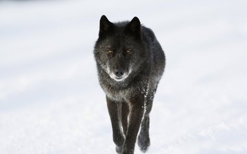 морда, снег, зима, взгляд, хищник, животное, канада, волк
