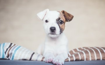 look, dog, house, puppy, each, comfort, jack russell terrier