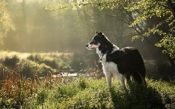 grass, nature, dog, each, border collie