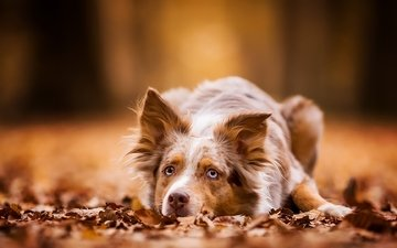 foliage, autumn, dog, lies, red, australian shepherd