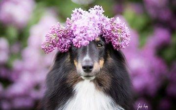 цветы, собака, размытость, венок, сирень, колли