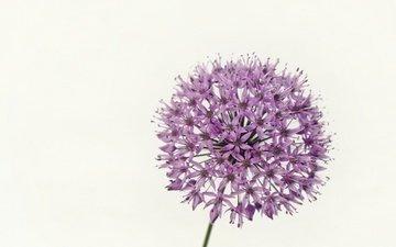 цветок, белый фон, соцветие, декоративный лук, аллиум