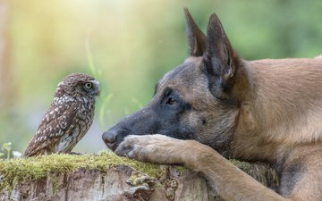 owl, dog, profile, bird, stump