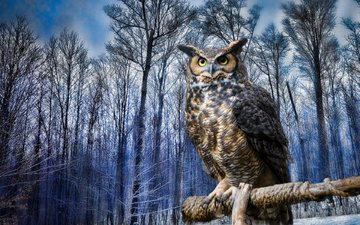 owl, winter, bird, virgin filin