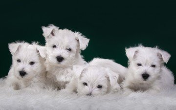 puppies, dogs, terrier, the west highland white terrier