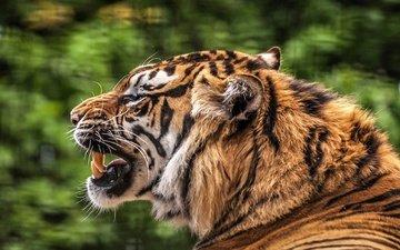 tiger, muzzle, predator, profile, teeth, mouth