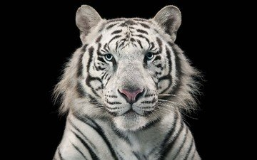 tiger, black background, white tiger, bengal, blue-eyed