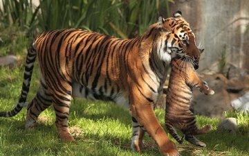 tiger, grass, cub, big cats, motherhood, tigress, tigers