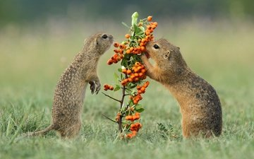 grass, berries, rowan, rodents, gophers