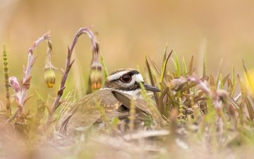 flowers, grass, nature, bird, beak, plover, noisy plover