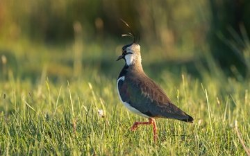 grass, nature, bird, lapwing