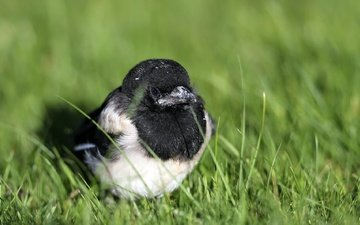 grass, chick, nature, bird, beak, forty