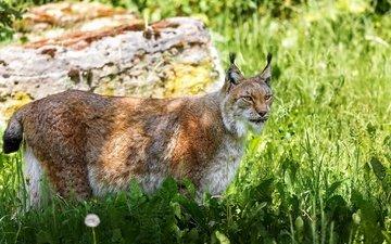 трава, рысь, хищник, дикая кошка