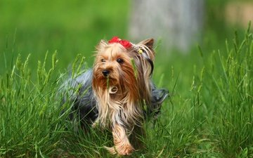 трава, зелень, собака, йорк, йоркширский терьер