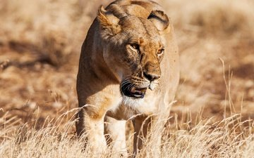 grass, the sun, predator, lioness