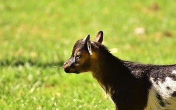 grass, goat