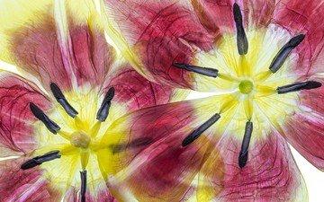 цветы, тюльпаны, крупным планом