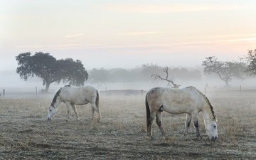 morning, fog, horses
