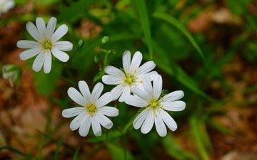 spring, bokeh, white flowers