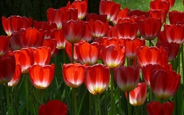 spring, red tulips