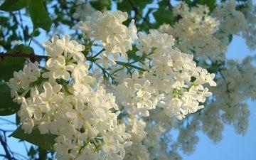 весна, синее небо, белая сирень