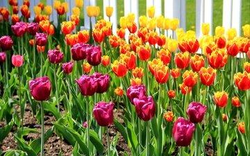 весна, тюльпаны, клумба