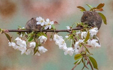 branch, flowering, background, pair, cherry, flowers, rodents