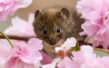 branch, flowering, look, sakura, flowers, rodent