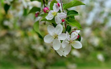 branch, tree, flowering, spring, apple