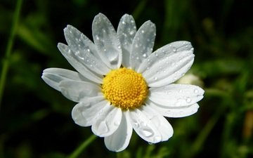 water, flower, drops, petals, daisy, white flower