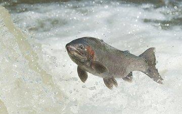 вода, река, рыба