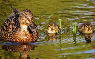 water, nature, birds, pond, ducklings, duck