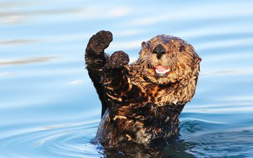 water, muzzle, look, animal, legs, otter