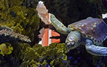 water, fish, turtle, backlight, aquarium, corals, reptile, underwater world, sea turtle, reptilic