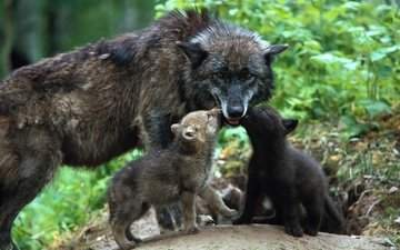 family, care, wolves, wolf, cubs, the cubs