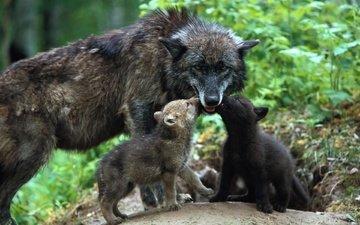 семья, забота, волки, волчица, детеныши, волчата