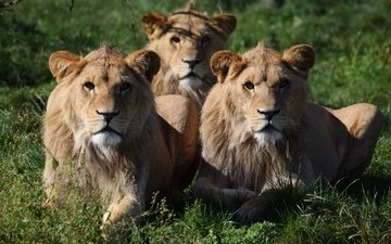 face, grass, look, lions, lioness