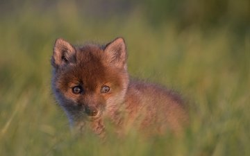 look, baby, cub, bokeh, fox