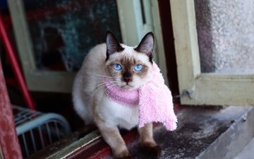 cat, look, face, window, blue eyes, siamese, scarf