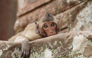 взгляд, обезьяна