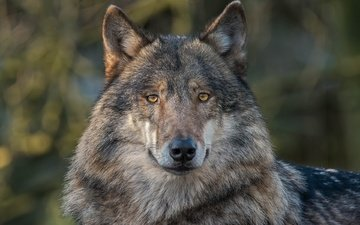 eyes, face, look, predator, wolf, grey wolf