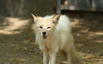 look, teeth, zoo, fox, polar fox, arctic fox
