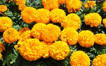 flowers, yellow, marigolds