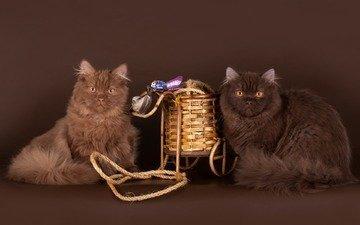 шерсть, коты, пара, кошки, британец, британская длинношёрстная кошка, британская длинношерстная