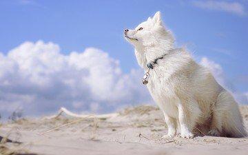 the sky, clouds, dog, finnish lapphund, loparskaya husky