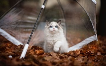 nature, leaves, cat, muzzle, look, autumn, kitty, umbrella, animal, ragdoll